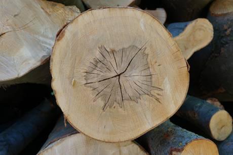Schnitt von Baumstamm